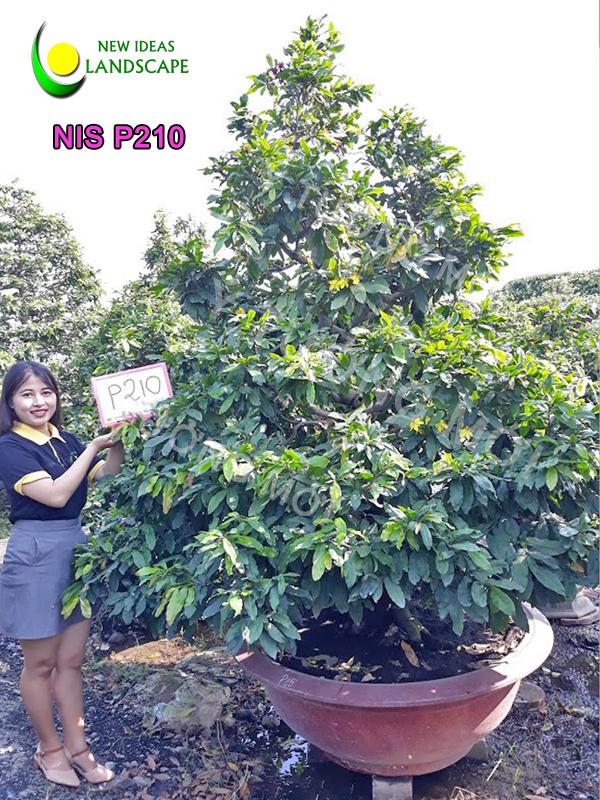 MAI VÀNG MÃ SỐ NIS P210