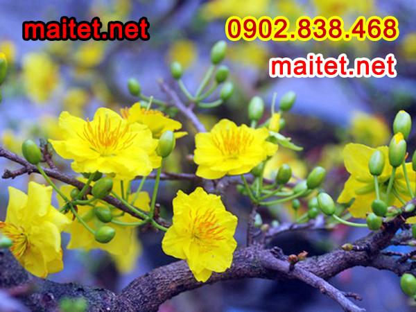 Mai vàng trang trí Xuân